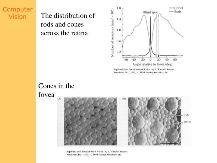 The distribution of rods and cones across the retina