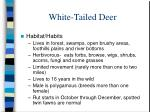white tailed deer7