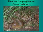 meadow jumping mouse zapus hudsonius