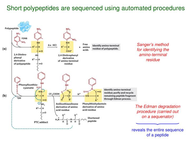 Short polypeptides are sequenced using automated procedures
