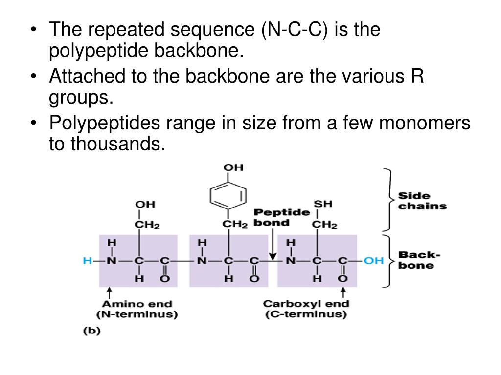 The repeated sequence (N-C-C) is the polypeptide backbone.