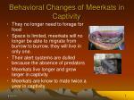 behavioral changes of meerkats in captivity