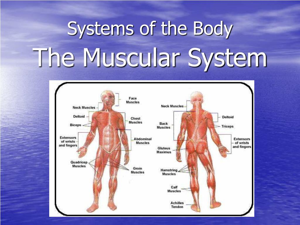 systems of the body l.