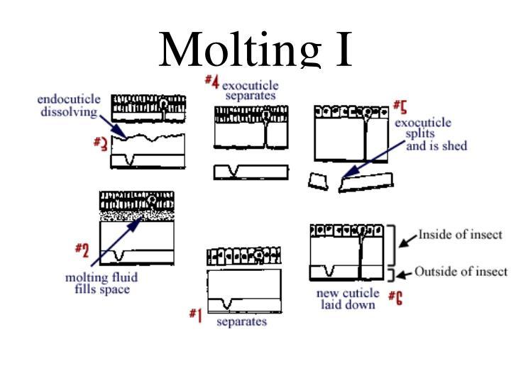 Molting I