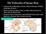 the trabeculae of spongy bone