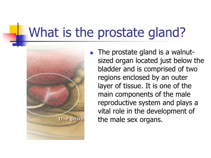 a history of the prostate gland The prostate is a muscular gland that weighs about three-fourths of an ounce (20 grams) about the size of a small apricot it surrounds the urethra just beneath the bladder during ejaculation, millions of sperm move from the testes through tubes called the vas deferens into the area of the prostate.