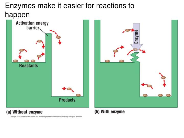 Enzymes make it easier for reactions to happen