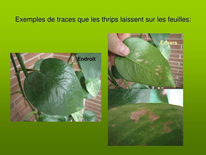 Exemples de traces que les thrips laissent sur les feuilles: