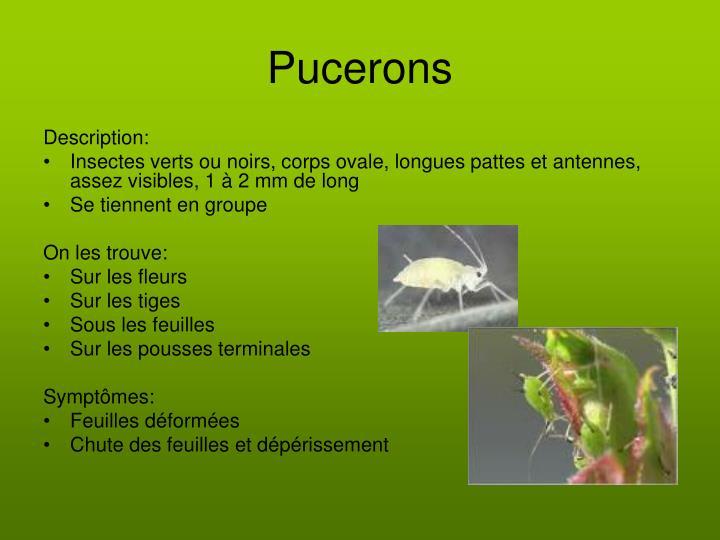 Pucerons