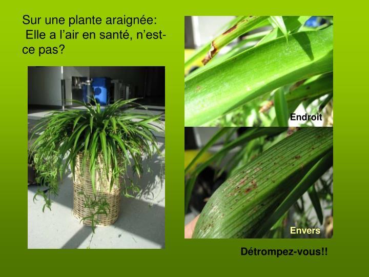 Sur une plante araignée: