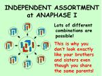 independent assortment at anaphase i