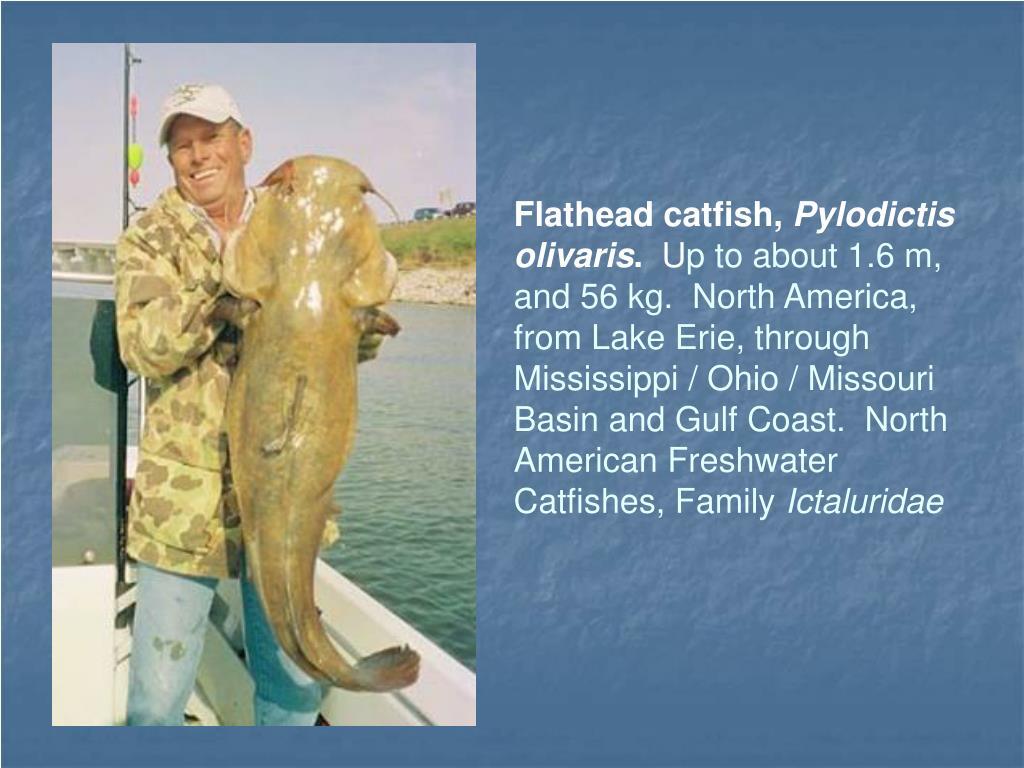 Flathead catfish,