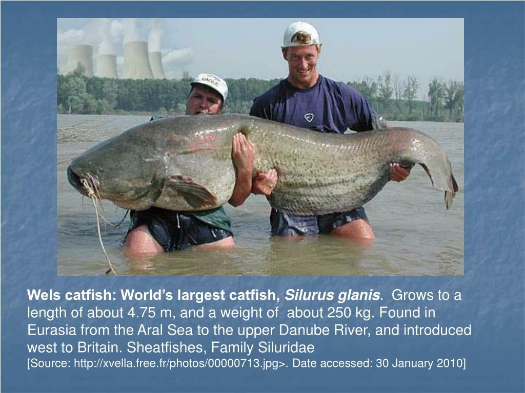 Wels catfish: World's largest catfish,