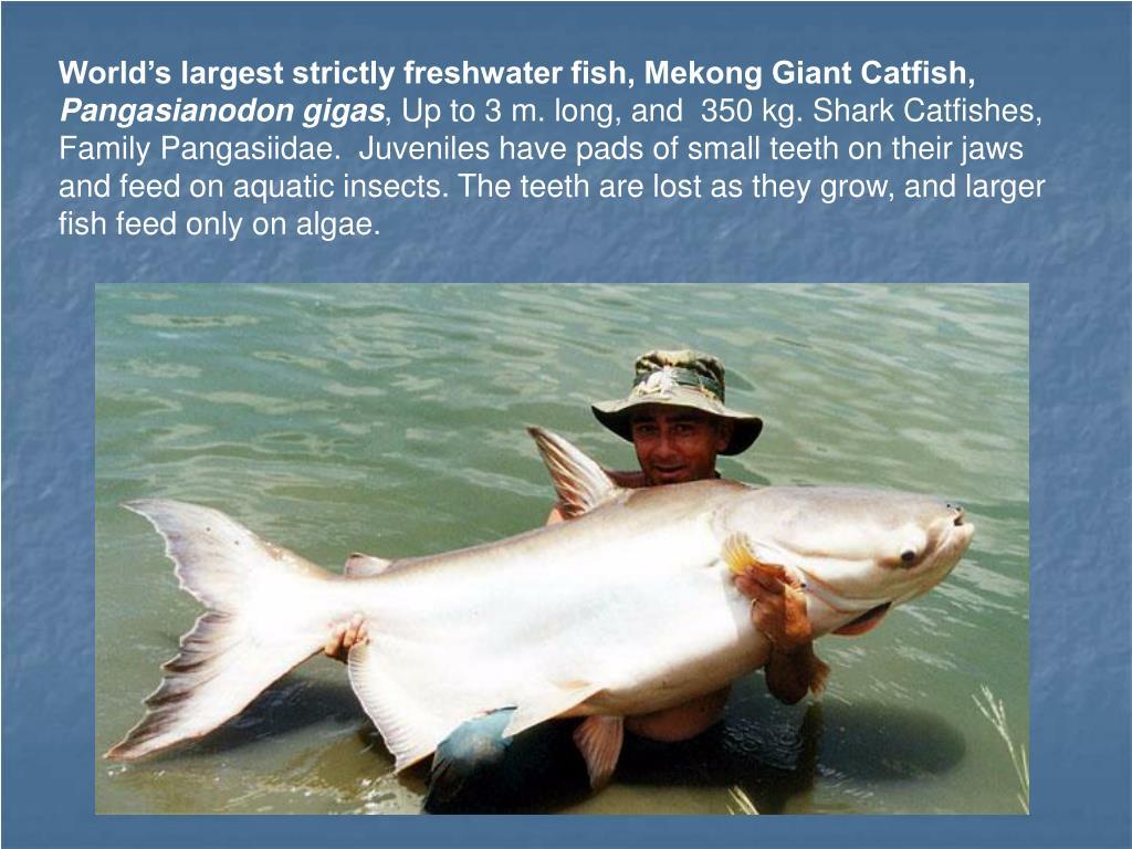 World's largest strictly freshwater fish, Mekong Giant Catfish,