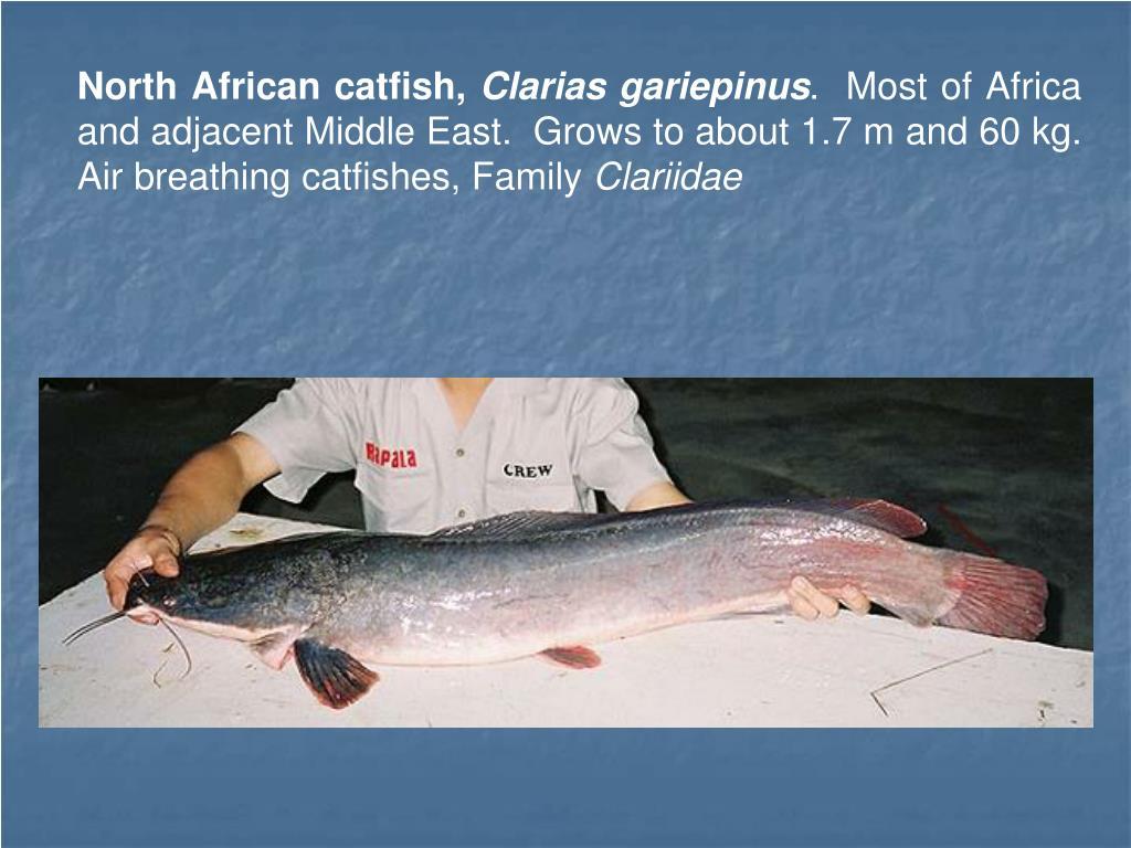 North African catfish,