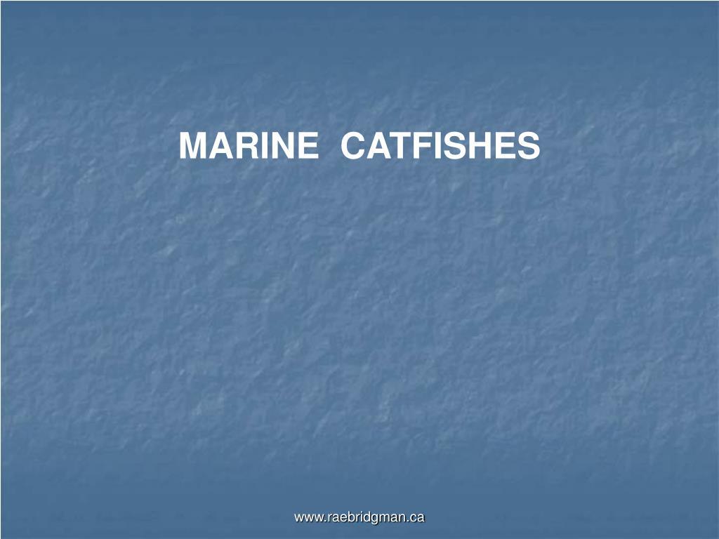 MARINE  CATFISHES