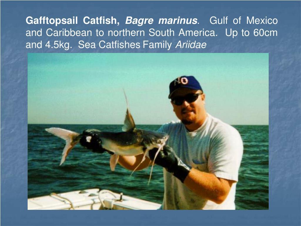 Gafftopsail Catfish,