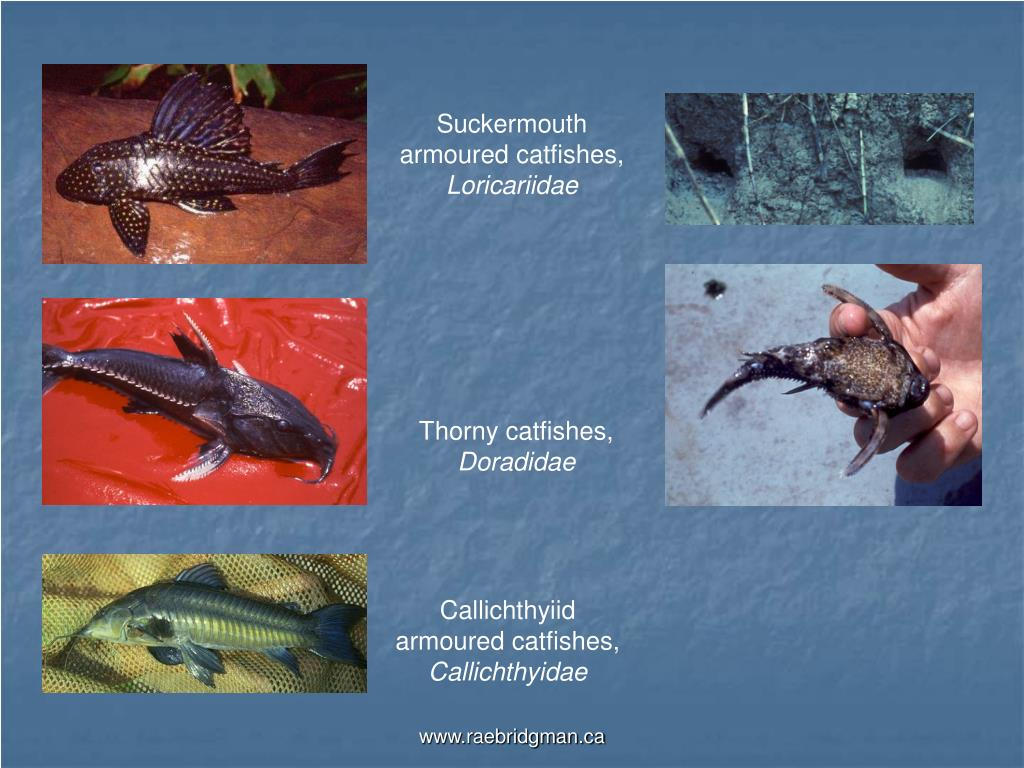Suckermouth armoured catfishes,