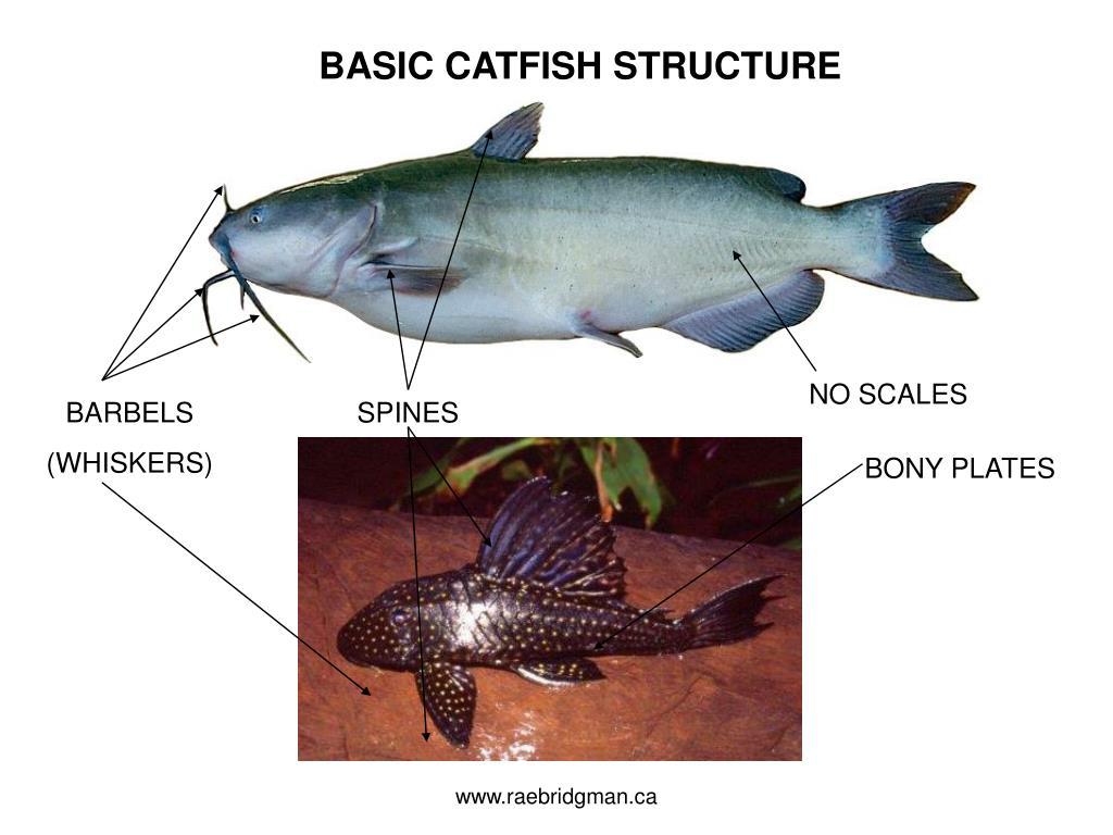 BASIC CATFISH STRUCTURE