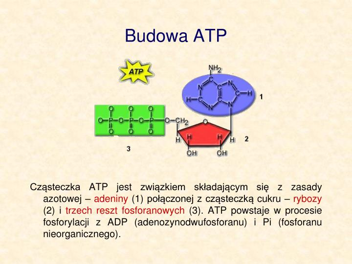 Budowa ATP