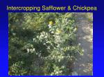 intercropping safflower chickpea