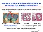 inactivation of notch2 results in loss of notch2 myocardial cells and hypoplastic hearts