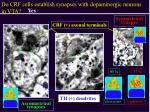 do crf cells establish synapses with dopaminergic neurons in vta1