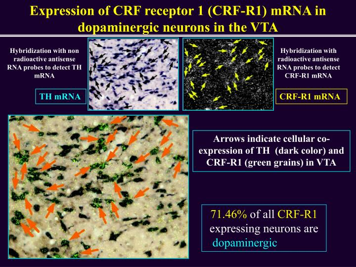 Expression of CRF receptor 1 (CRF-R1) mRNA in dopaminergic neurons in the VTA