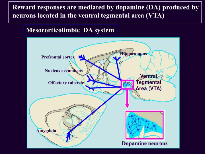 Reward responses are mediated by dopamine (DA) produced by neurons located in the ventral tegmental area (VTA)