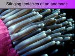 stinging tentacles of an anemone