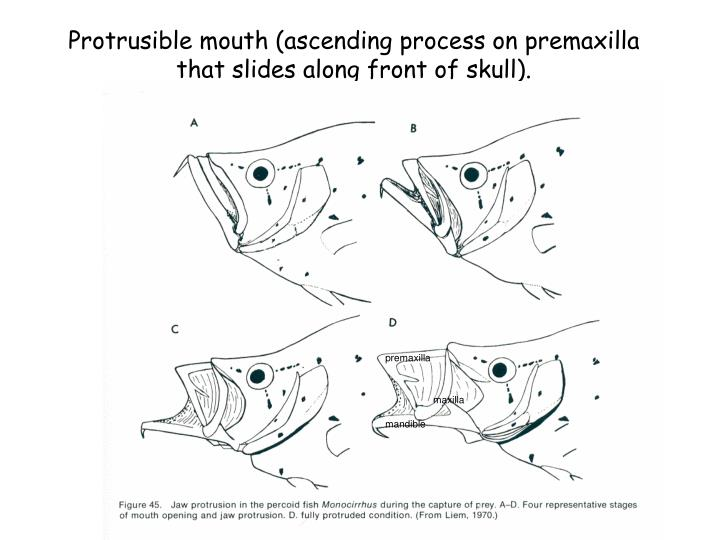 Protrusible mouth (ascending process on premaxilla that slides along front of skull).