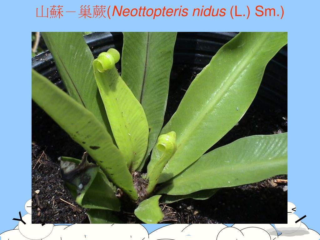 山蘇-巢蕨