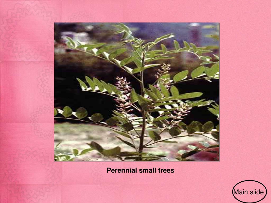 Perennial small trees