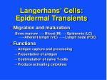 langerhans cells epidermal transients