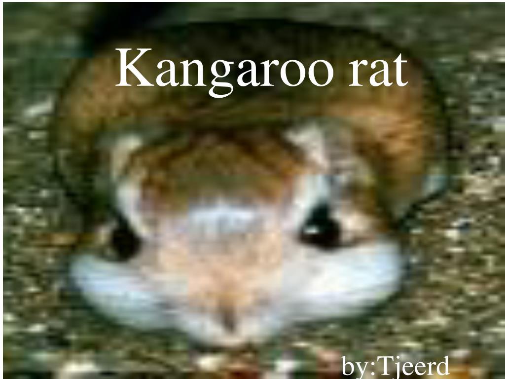 kangaroo rat l.