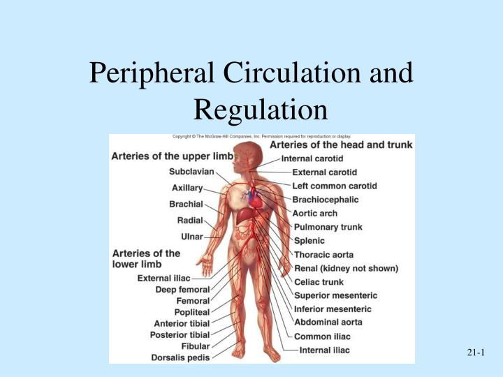 PPT - Peripheral Circulation and Regulation PowerPoint Presentation ...