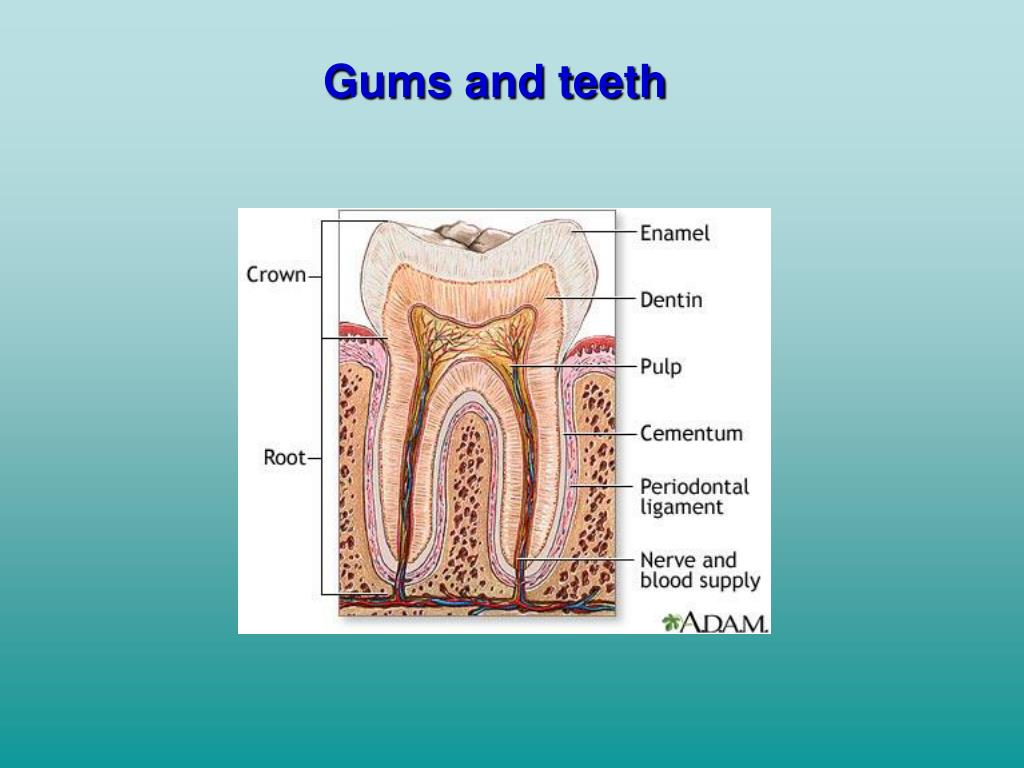 Gums and teeth