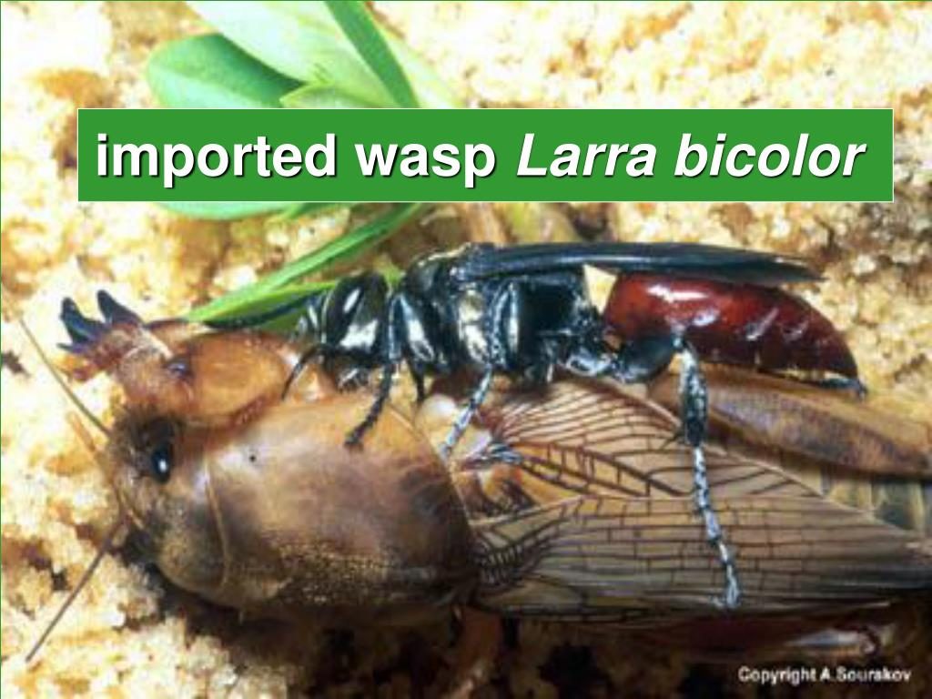 imported wasp