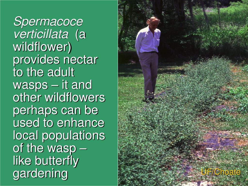 Spermacoce verticillata