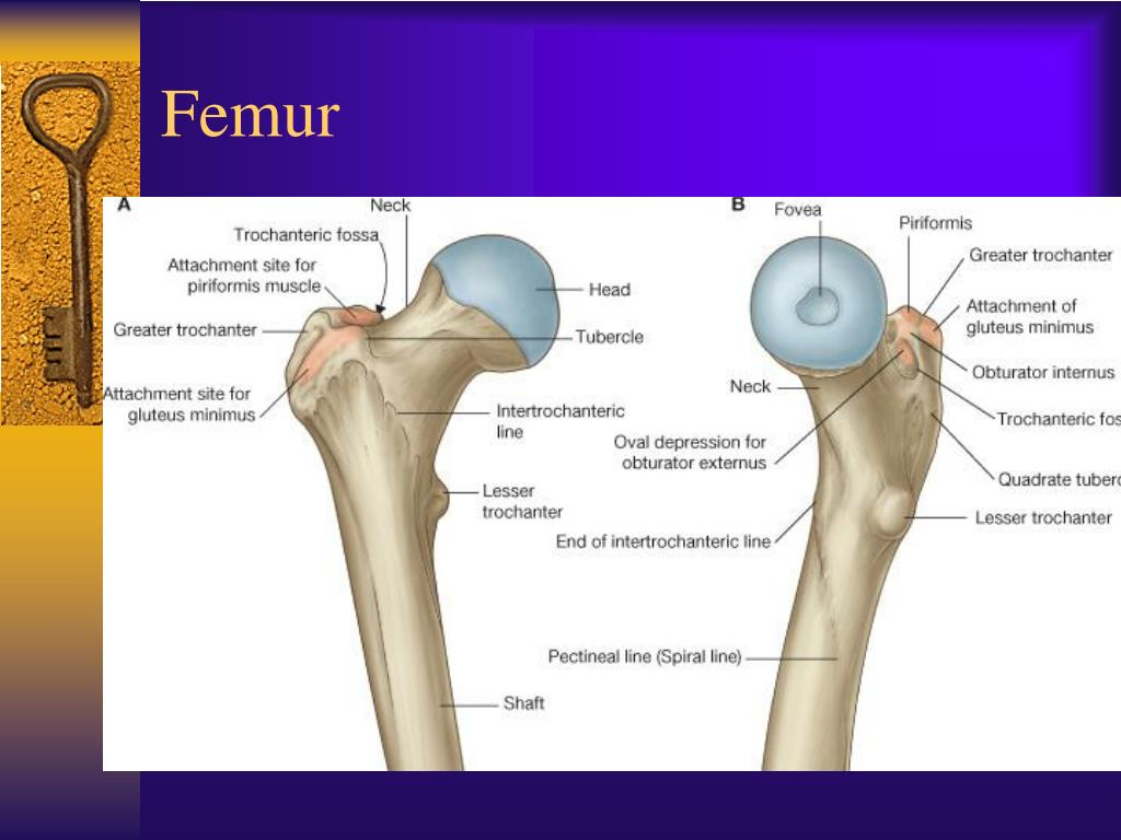 PPT - Lower Extremity PowerPoint Presentation - ID:502795