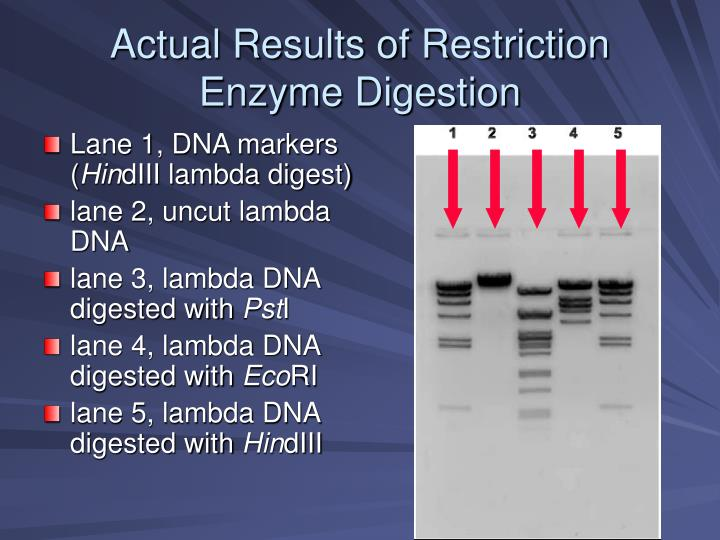 """dna restriction enzyme digestion The reagents required for our digest are : dna sample – generally added in the same proportion as the restriction enzyme restriction enzyme – generally added at 10% of the final volume 10x buffer – a solution of salts which maintain the correct ph for the enzyme to function """"10x"""" refers to the fact that it."""