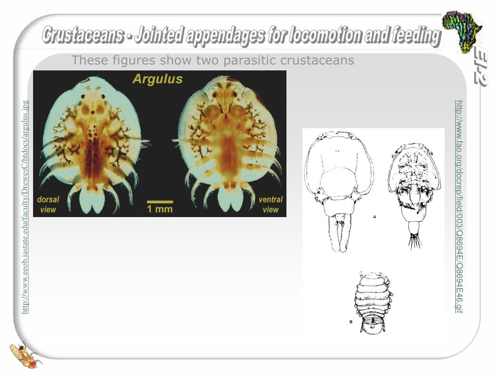 These figures show two parasitic crustaceans