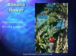 banana flower21