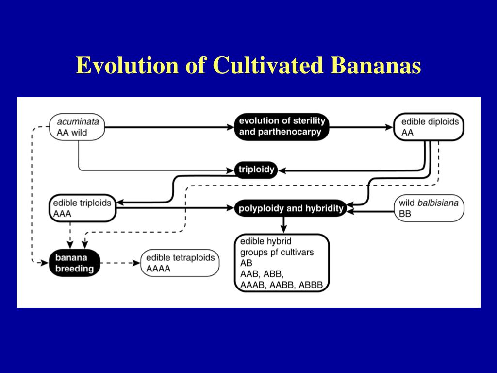 Evolution of Cultivated Bananas