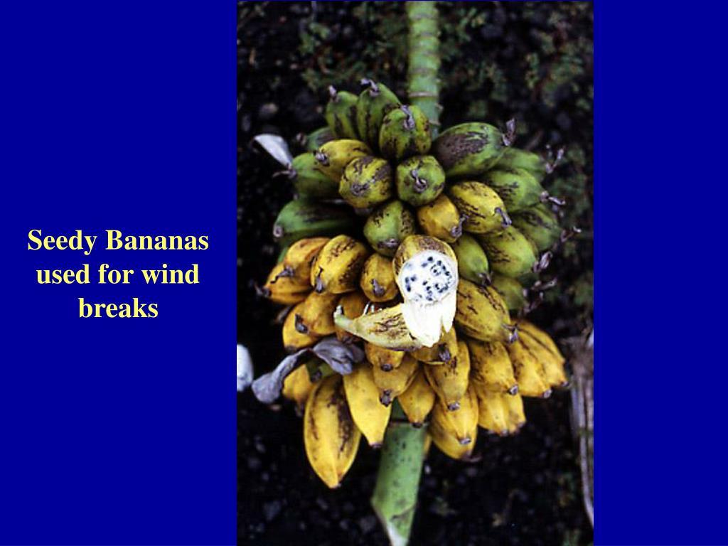 Seedy Bananas used for wind breaks