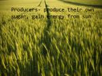 producers produce their own sugar gain energy from sun