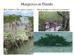 mangroves in florida
