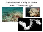 sandy flats dominated by parchment worms chaetopterus spp