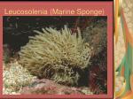 leucosolenia marine sponge