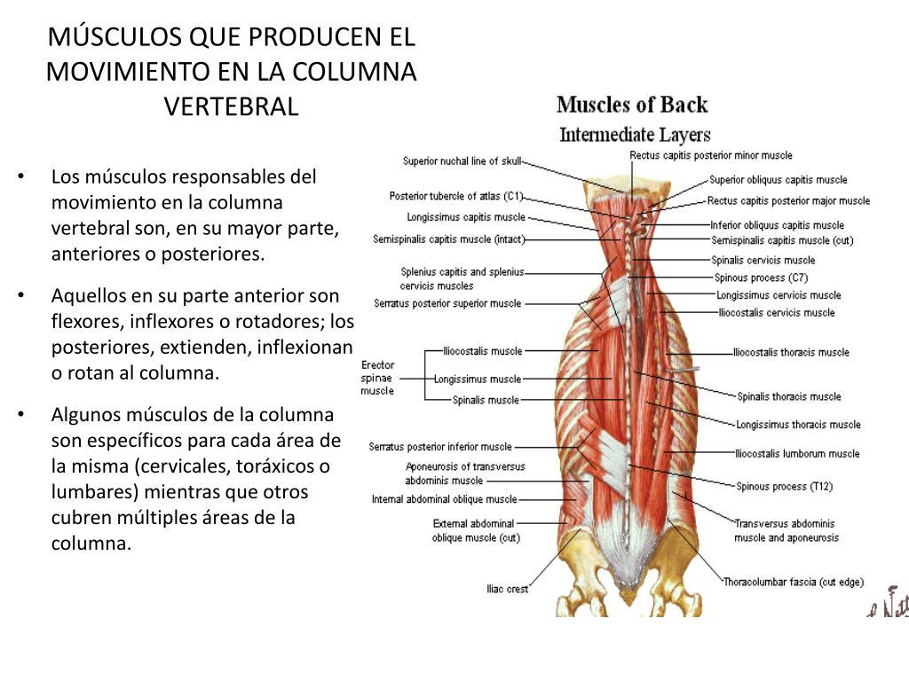 m sculos que producen el movimiento en la columna vertebral l.